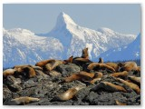 sealions-winter-time